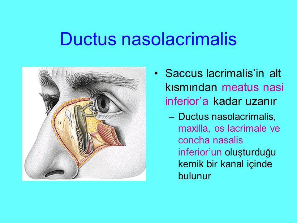 Ductus nasolacrimalis Saccus lacrimalis'in alt kısmından meatus nasi inferior'a kadar uzanır –Ductus nasolacrimalis, maxilla, os lacrimale ve concha nasalis inferior'un oluşturduğu kemik bir kanal içinde bulunur