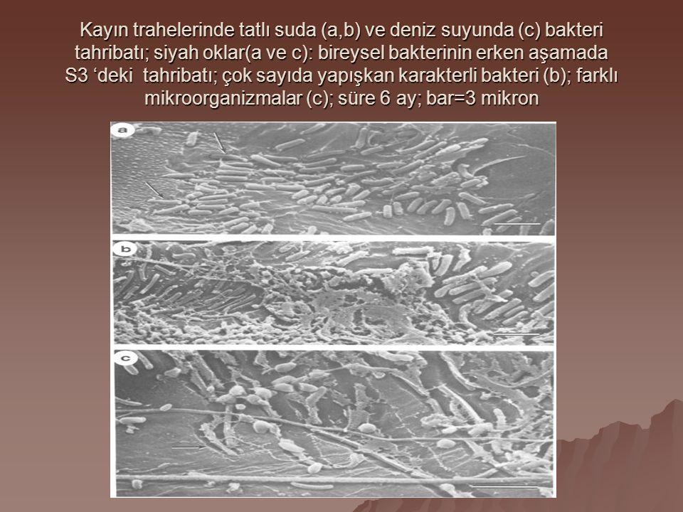 Kayın trahelerinde tatlı suda (a,b) ve deniz suyunda (c) bakteri tahribatı; siyah oklar(a ve c): bireysel bakterinin erken aşamada S3 'deki tahribatı; çok sayıda yapışkan karakterli bakteri (b); farklı mikroorganizmalar (c); süre 6 ay; bar=3 mikron