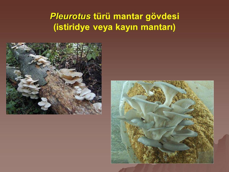 Pleurotus Pleurotus türü mantar gövdesi (istiridye veya kayın mantarı)