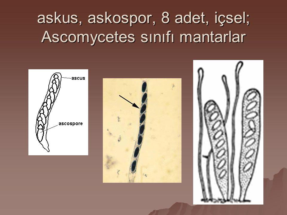 askus, askospor, 8 adet, içsel; Ascomycetes sınıfı mantarlar