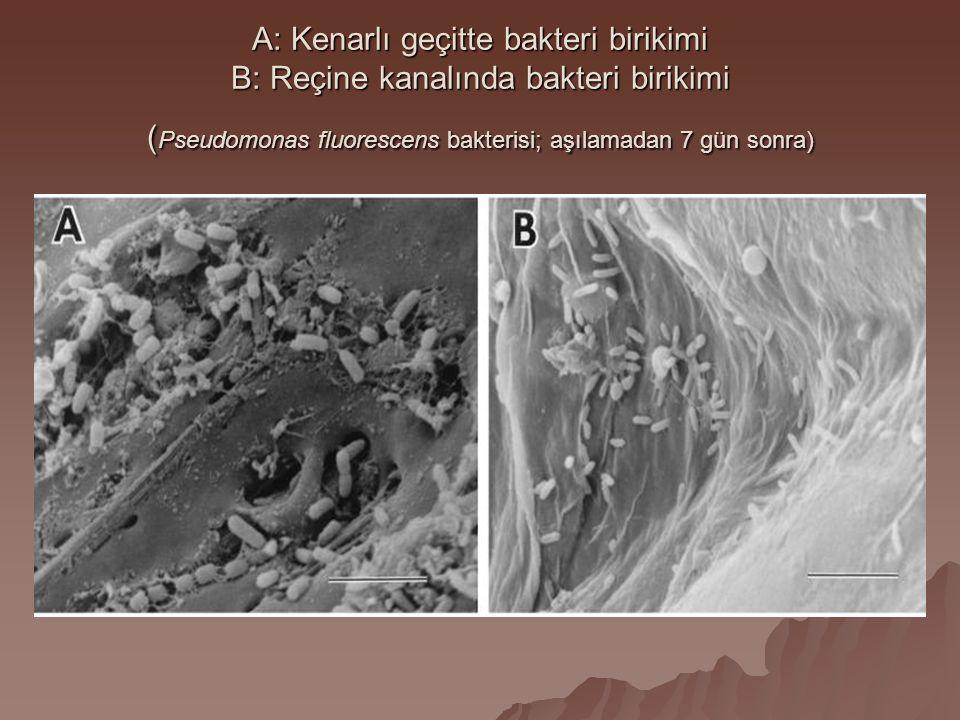 A: Kenarlı geçitte bakteri birikimi B: Reçine kanalında bakteri birikimi ( Pseudomonas fluorescens bakterisi; aşılamadan 7 gün sonra)