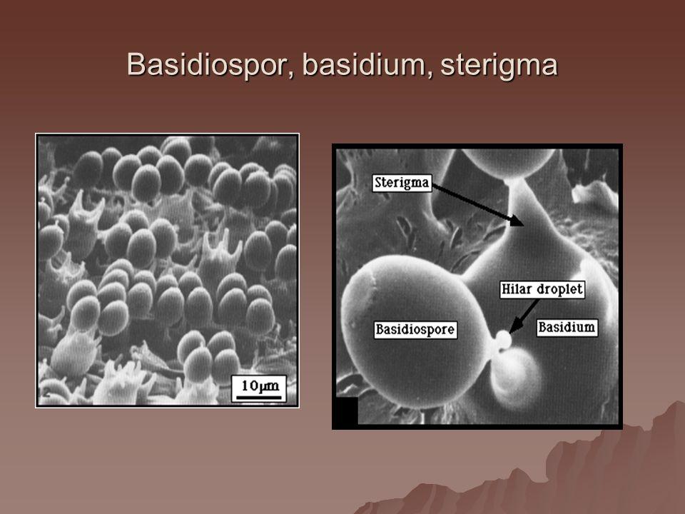 Basidiospor, basidium, sterigma