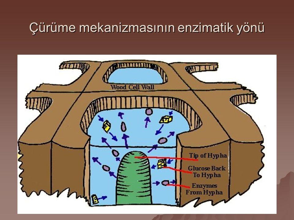 Çürüme mekanizmasının enzimatik yönü