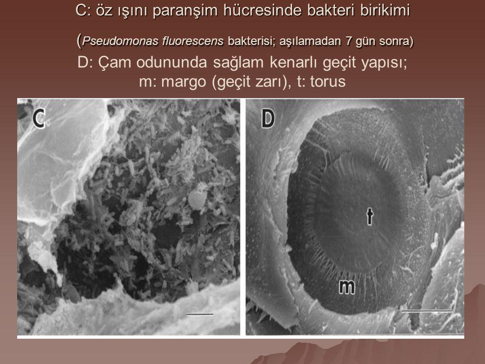 C: öz ışını paranşim hücresinde bakteri birikimi ( Pseudomonas fluorescens bakterisi; aşılamadan 7 gün sonra) C: öz ışını paranşim hücresinde bakteri birikimi ( Pseudomonas fluorescens bakterisi; aşılamadan 7 gün sonra) D: Çam odununda sağlam kenarlı geçit yapısı; m: margo (geçit zarı), t: torus