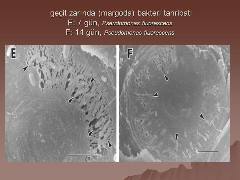 geçit zarında (margoda) bakteri tahribatı E: 7 gün, Pseudomonas fluorescens F: 14 gün, Pseudomonas fluorescens geçit zarında (margoda) bakteri tahriba