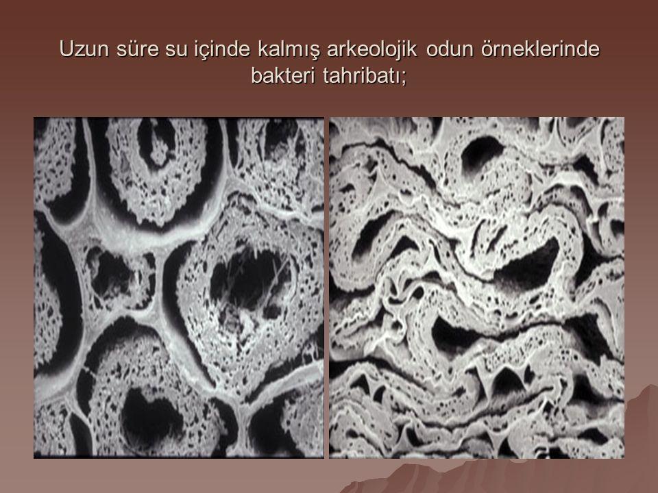 Uzun süre su içinde kalmış arkeolojik odun örneklerinde bakteri tahribatı;