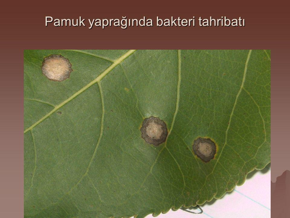 Pamuk yaprağında bakteri tahribatı