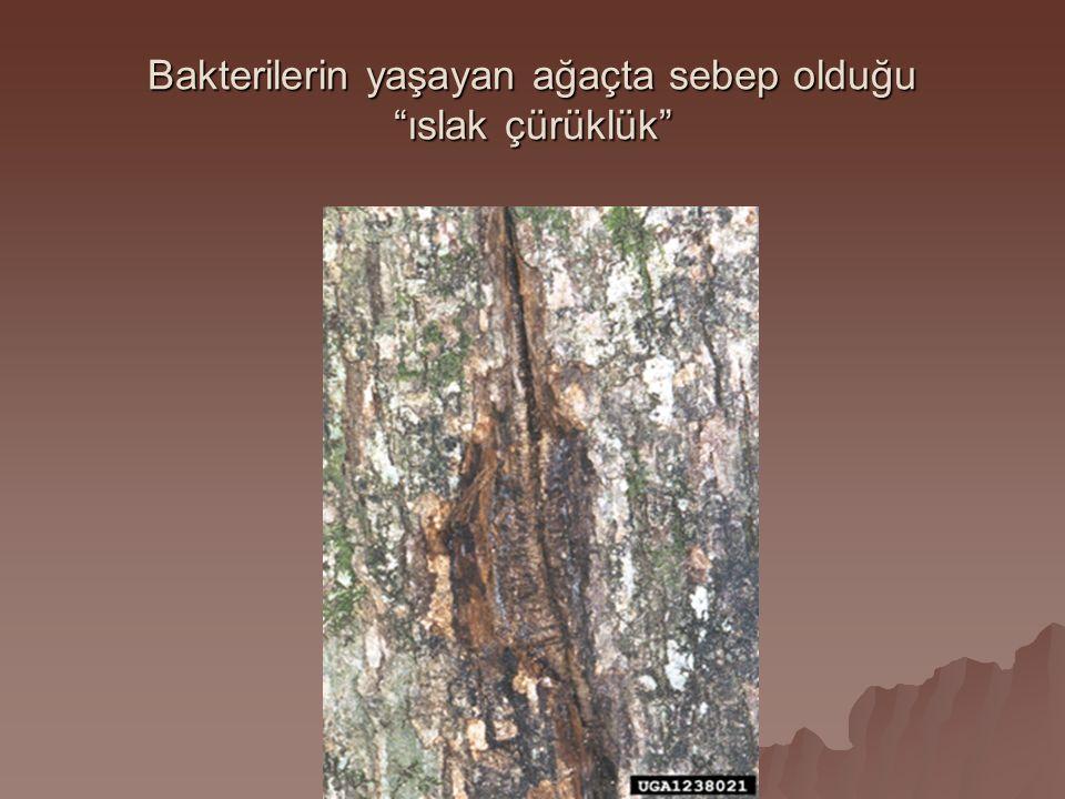Bakterilerin yaşayan ağaçta sebep olduğu ıslak çürüklük