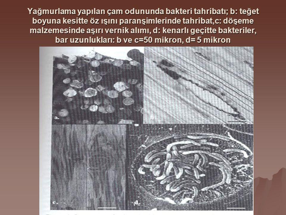 Yağmurlama yapılan çam odununda bakteri tahribatı; b: teğet boyuna kesitte öz ışını paranşimlerinde tahribat,c: döşeme malzemesinde aşırı vernik alımı, d: kenarlı geçitte bakteriler, bar uzunlukları: b ve c=50 mikron, d= 5 mikron