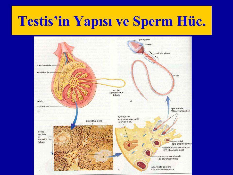 Testis'in Yapısı ve Sperm Hüc.