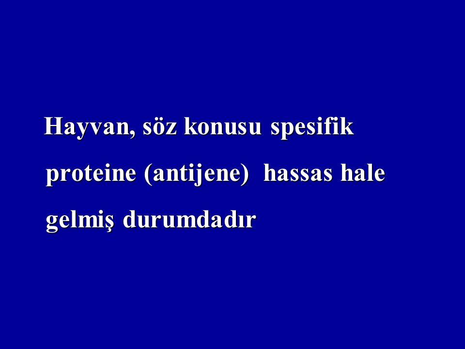 Hayvan, söz konusu spesifik proteine (antijene) hassas hale gelmiş durumdadır Hayvan, söz konusu spesifik proteine (antijene) hassas hale gelmiş durum