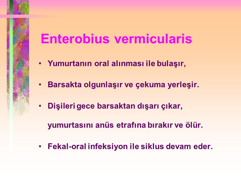 Enterobius vermicularis Yumurtanın oral alınması ile bulaşır, Barsakta olgunlaşır ve çekuma yerleşir.