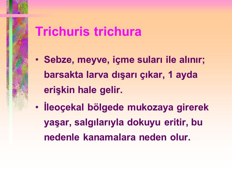 Trichuris trichura Sebze, meyve, içme suları ile alınır; barsakta larva dışarı çıkar, 1 ayda erişkin hale gelir.
