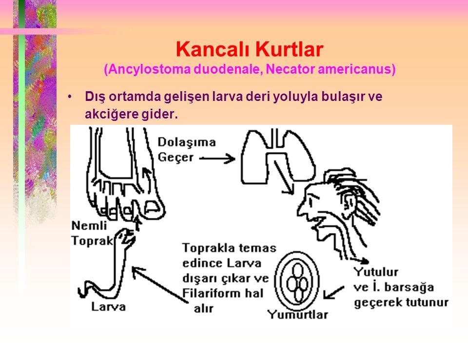 Kancalı Kurtlar (Ancylostoma duodenale, Necator americanus) Dış ortamda gelişen larva deri yoluyla bulaşır ve akciğere gider.