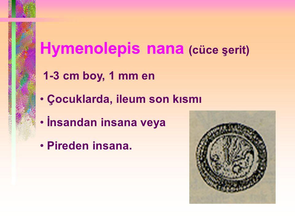 Hymenolepis nana (cüce şerit) 1-3 cm boy, 1 mm en Çocuklarda, ileum son kısmı İnsandan insana veya Pireden insana.