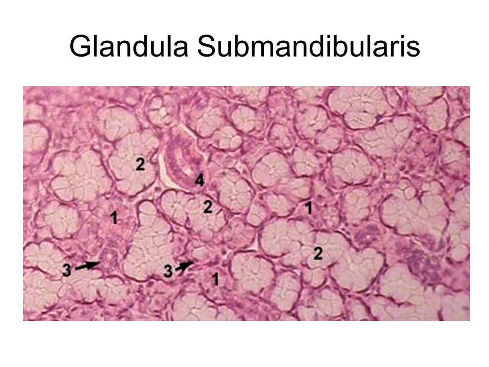 Glandula Submandibularis