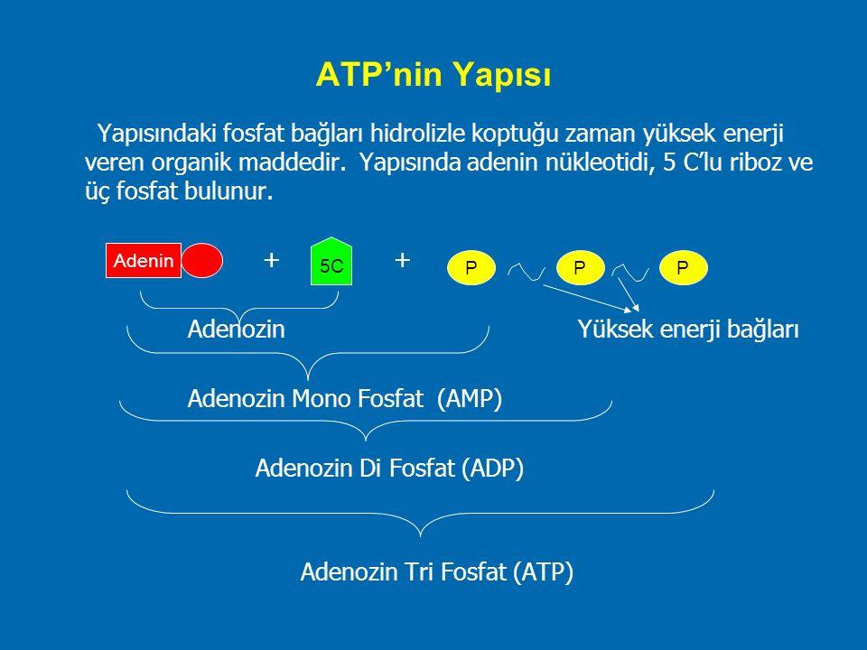 ATP'nin Yapısı Yapısındaki fosfat bağları hidrolizle koptuğu zaman yüksek enerji veren organik maddedir. Yapısında adenin nükleotidi, 5 C'lu riboz ve