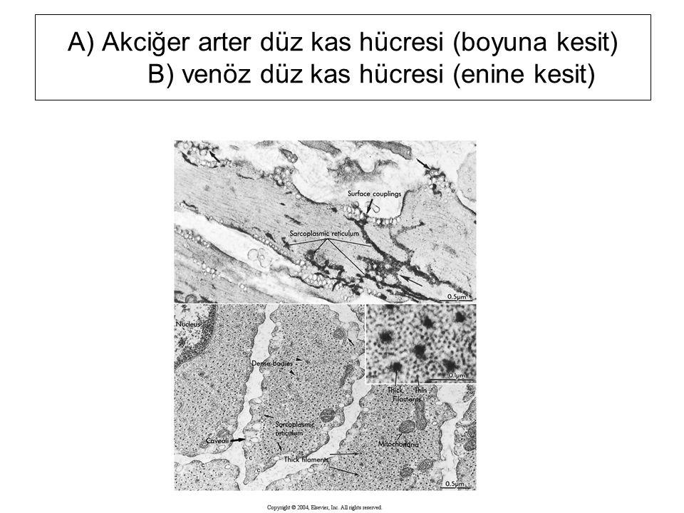 A) Akciğer arter düz kas hücresi (boyuna kesit) B) venöz düz kas hücresi (enine kesit)