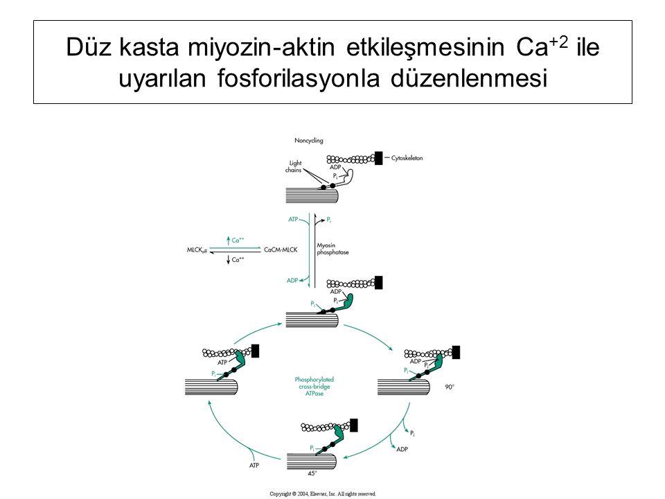Düz kasta miyozin-aktin etkileşmesinin Ca +2 ile uyarılan fosforilasyonla düzenlenmesi