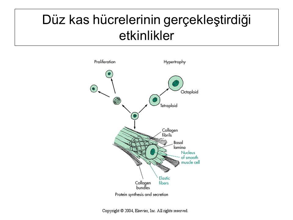Düz kas hücrelerinin gerçekleştirdiği etkinlikler