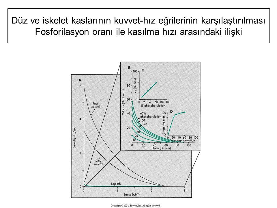 Düz ve iskelet kaslarının kuvvet-hız eğrilerinin karşılaştırılması Fosforilasyon oranı ile kasılma hızı arasındaki ilişki
