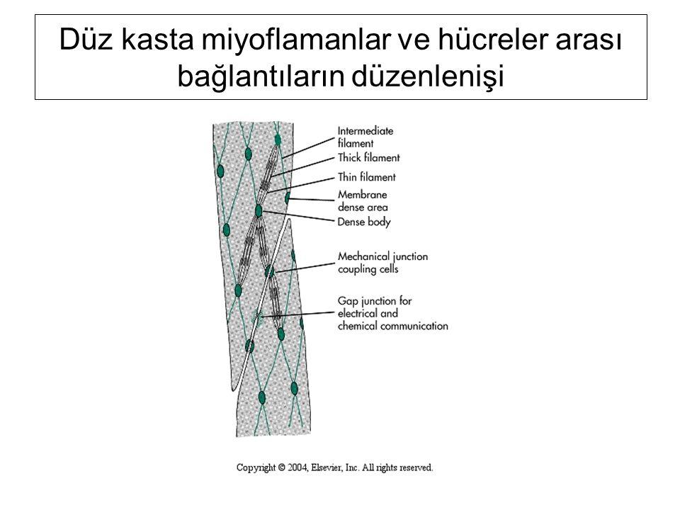 Düz kasta miyoflamanlar ve hücreler arası bağlantıların düzenlenişi