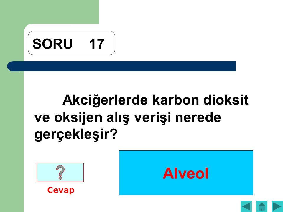 Alveol SORU17 Akciğerlerde karbon dioksit ve oksijen alış verişi nerede gerçekleşir? Cevap