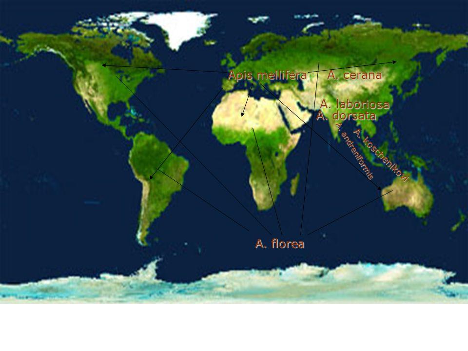 Balarısı Türleri Apis mellifera(Avrupa balarısı her yerde) A.