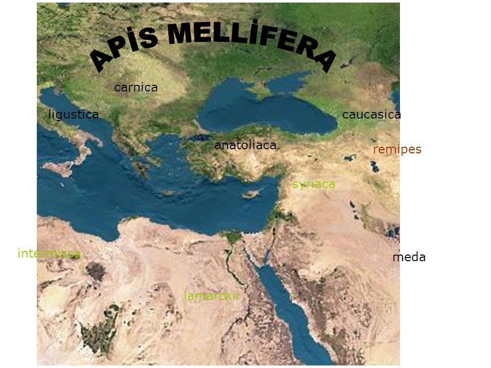 Apis mellifera(Avrupa balarısı) Yurdumuzda bu türe bağlı olarak A.mellifera anatoliaca ve A.mellifera caucasica ırkları saf olarak veya birbirleriyle oluşan melez ırklar halinde bulunur