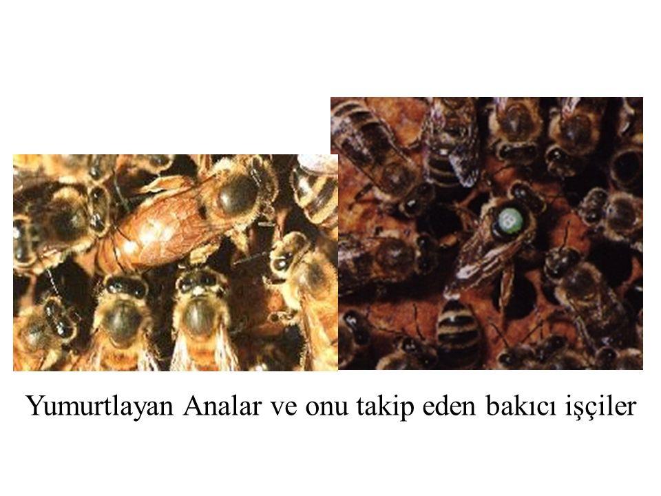 Ana arı taşıma kafesi