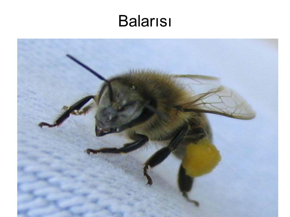 Ana arının kanatlarının kesilmesi