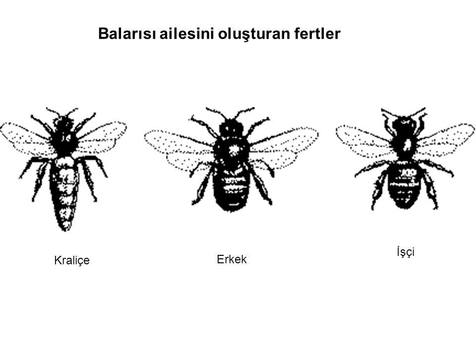 İşçi arıların polen ve nektar toplamaları