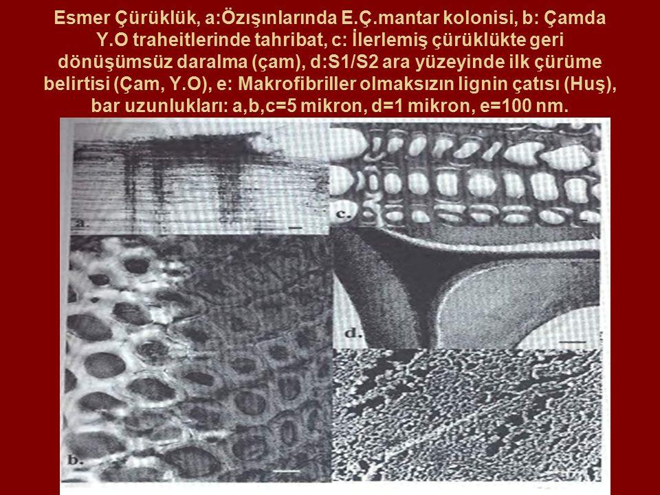 Esmer Çürüklük, a:Özışınlarında E.Ç.mantar kolonisi, b: Çamda Y.O traheitlerinde tahribat, c: İlerlemiş çürüklükte geri dönüşümsüz daralma (çam), d:S1/S2 ara yüzeyinde ilk çürüme belirtisi (Çam, Y.O), e: Makrofibriller olmaksızın lignin çatısı (Huş), bar uzunlukları: a,b,c=5 mikron, d=1 mikron, e=100 nm.