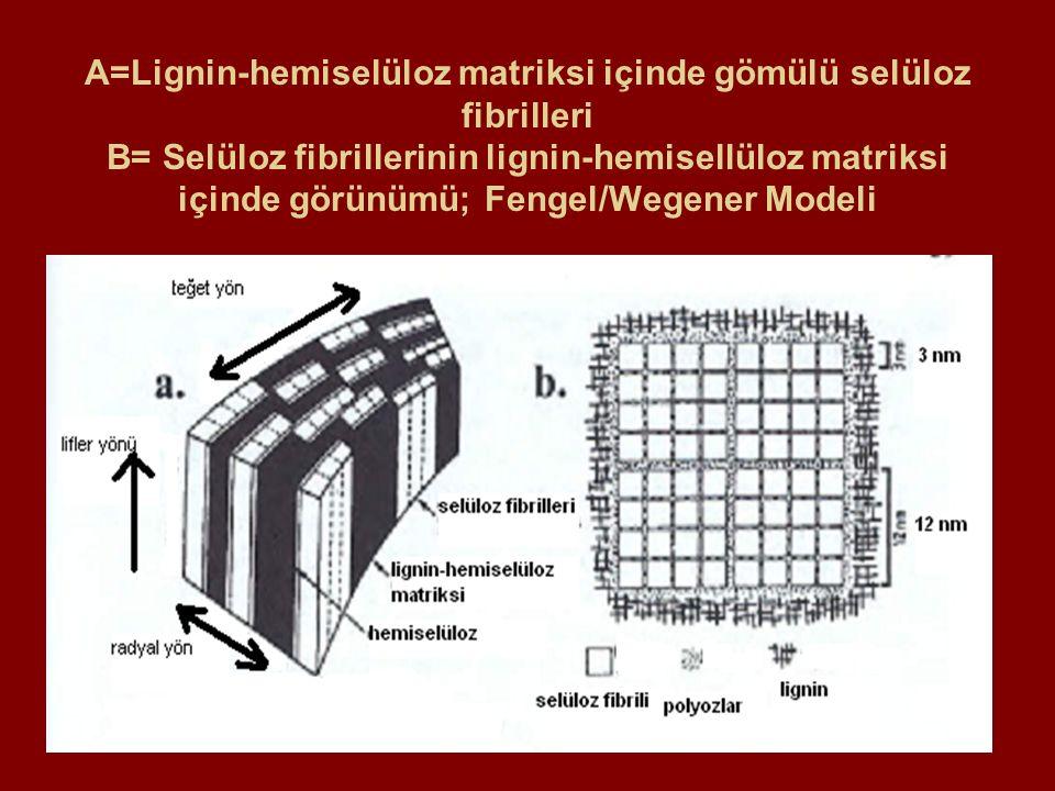 A=Meşe odunu enine kesitinde öz ışınları B= Akçaağaç odunu enine/teğet kesidi; R:Öz ışınları, V:Traheler, F:lifler