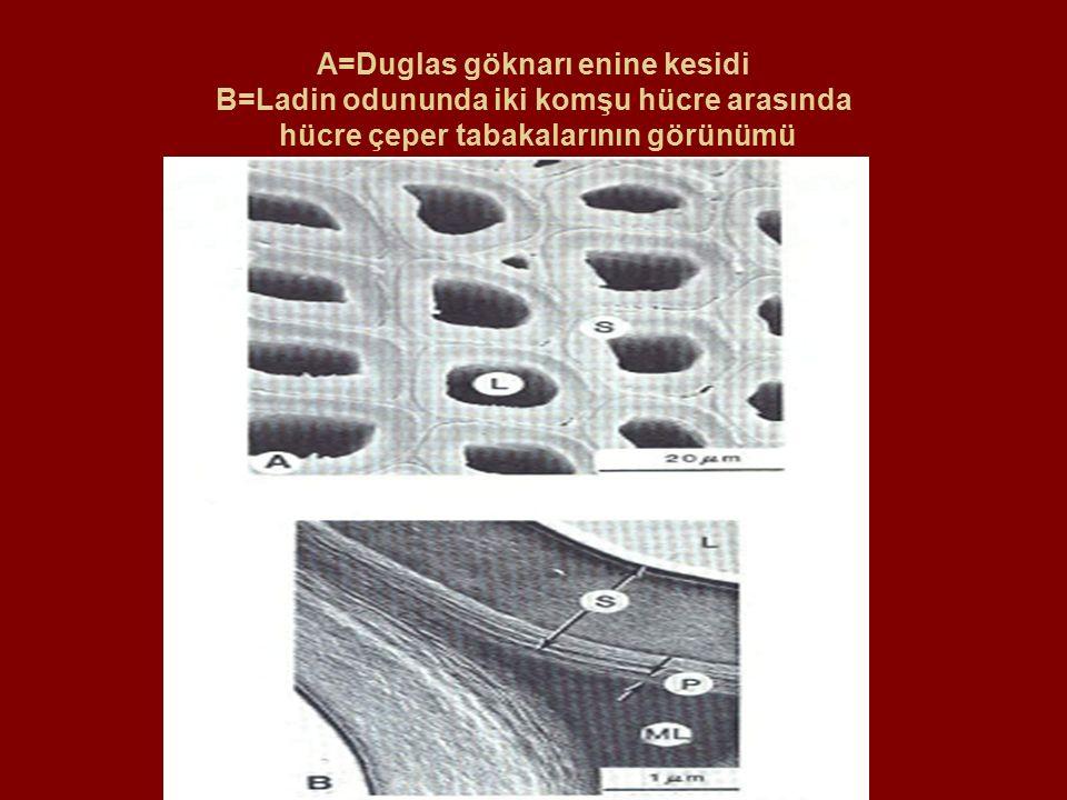 A=Duglas göknarı enine kesidi B=Ladin odununda iki komşu hücre arasında hücre çeper tabakalarının görünümü
