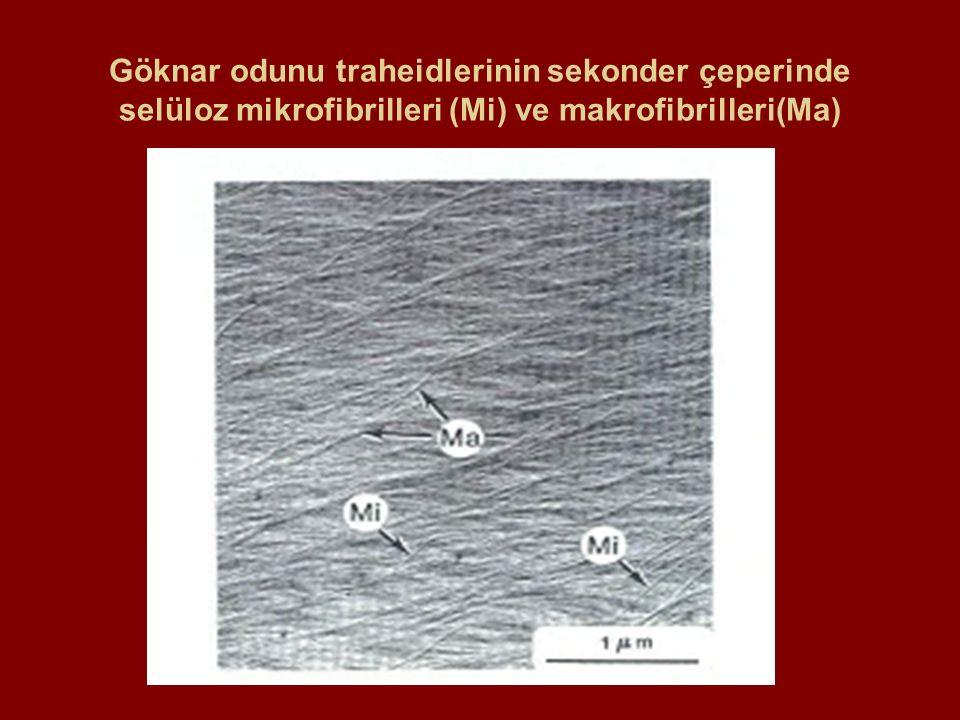 Göknar odunu traheidlerinin sekonder çeperinde selüloz mikrofibrilleri (Mi) ve makrofibrilleri(Ma)