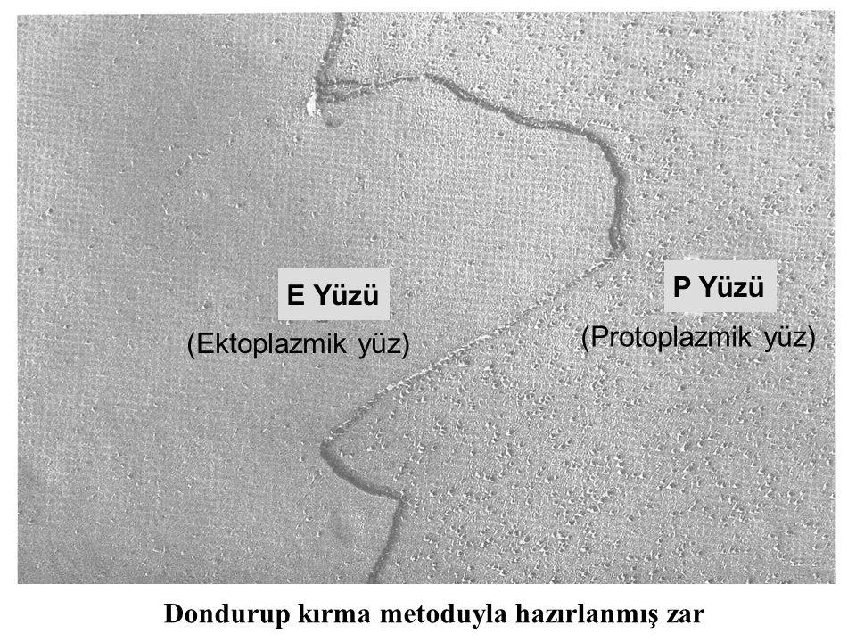 P Yüzü E Yüzü Dondurup kırma metoduyla hazırlanmış zar (Protoplazmik yüz) (Ektoplazmik yüz)