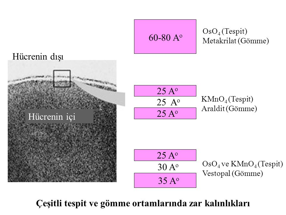 25 A o 35 A o Hücrenin içi Hücrenin dışı 60-80 A o 25 A o 30 A o OsO 4 (Tespit) Metakrilat (Gömme) KMnO 4 (Tespit) Araldit (Gömme) OsO 4 ve KMnO 4 (Te