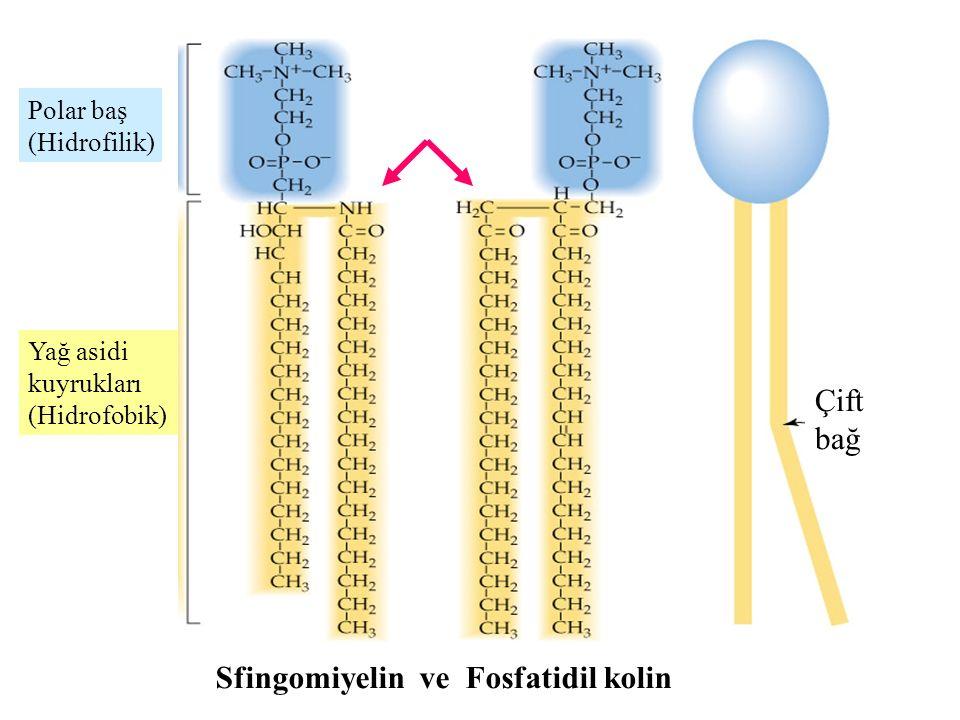 Çift bağ Polar baş (Hidrofilik) Yağ asidi kuyrukları (Hidrofobik) Sfingomiyelin ve Fosfatidil kolin