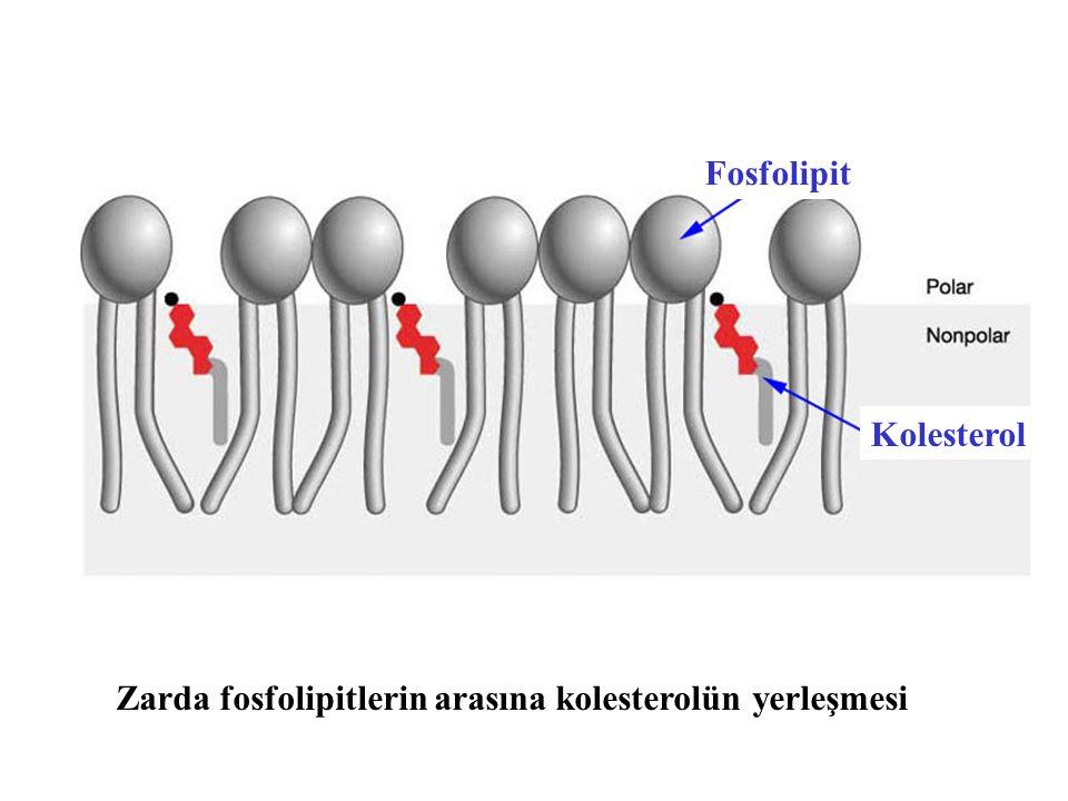 Zarda fosfolipitlerin arasına kolesterolün yerleşmesi Fosfolipit Kolesterol
