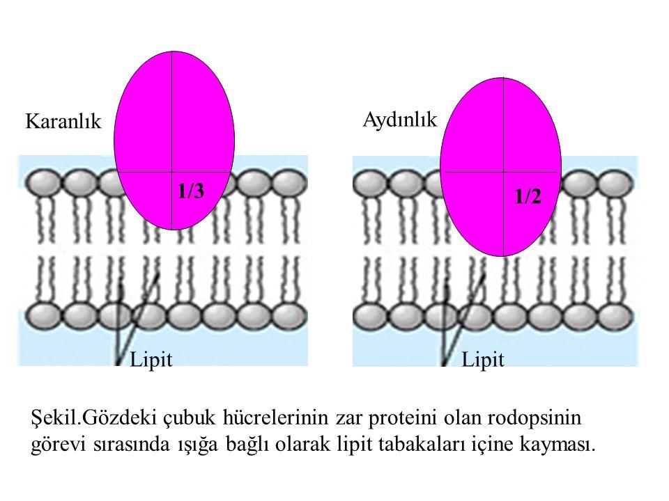 1/3 1/2 Lipit Şekil.Gözdeki çubuk hücrelerinin zar proteini olan rodopsinin görevi sırasında ışığa bağlı olarak lipit tabakaları içine kayması. Karanl