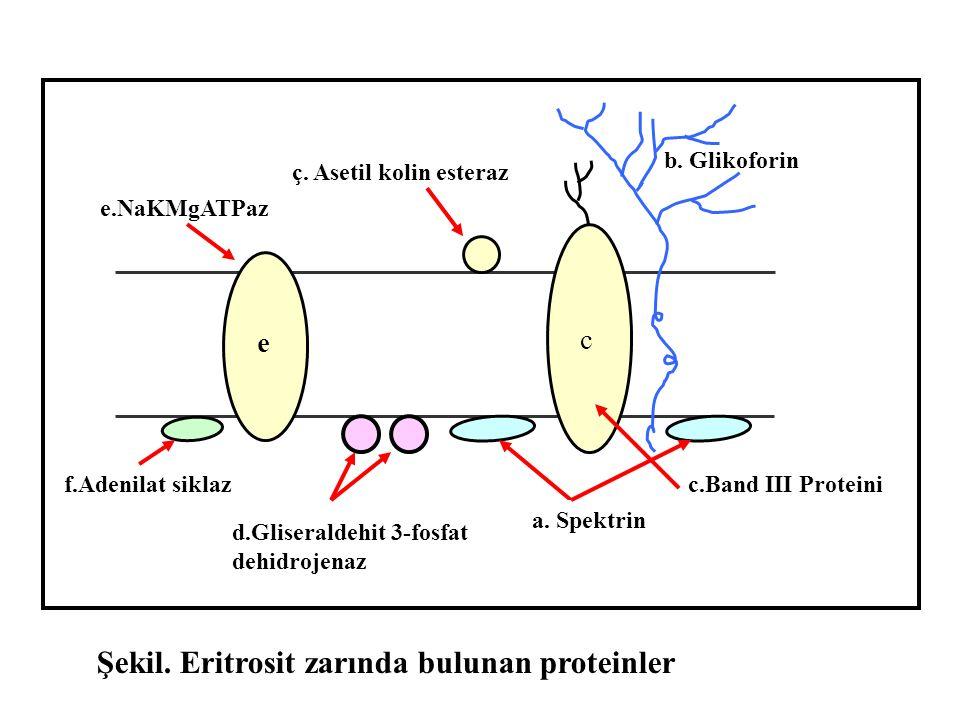 c e a. Spektrin b. Glikoforin c.Band III Proteini ç. Asetil kolin esteraz d.Gliseraldehit 3-fosfat dehidrojenaz f.Adenilat siklaz e.NaKMgATPaz Şekil.