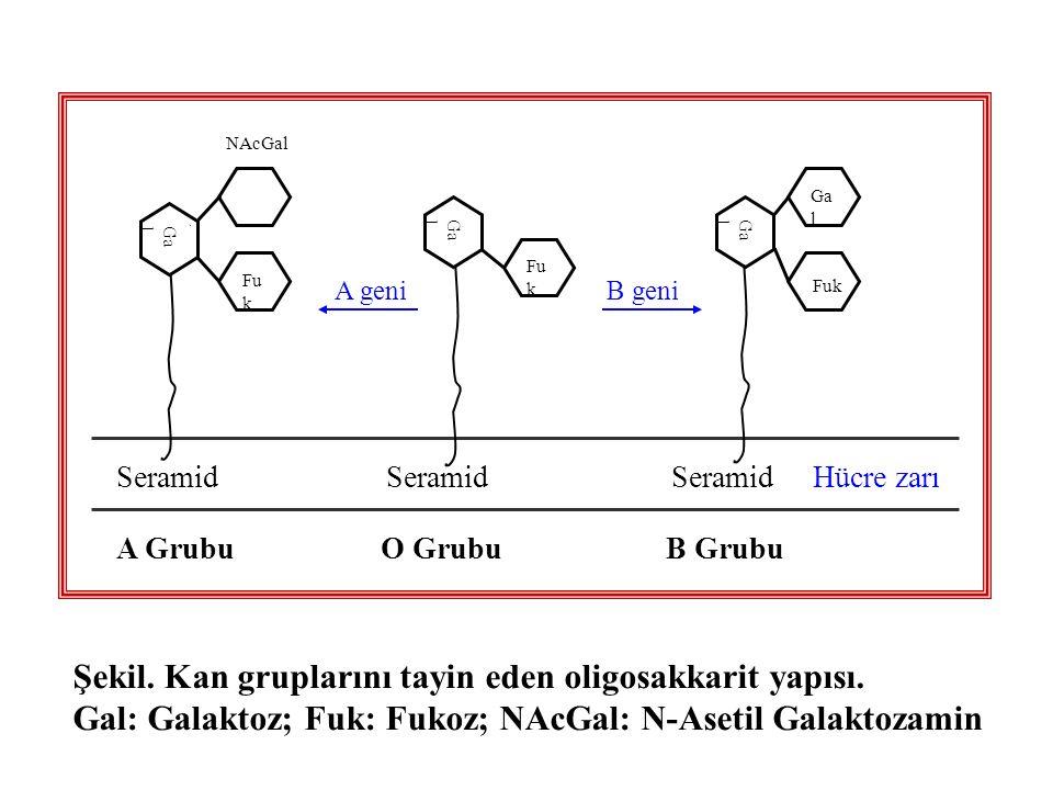 Ga l Fu k Ga l Fu k Ga l A geni B geni Hücre zarıSeramid Fuk NAcGal A Grubu O Grubu B Grubu Şekil. Kan gruplarını tayin eden oligosakkarit yapısı. Gal