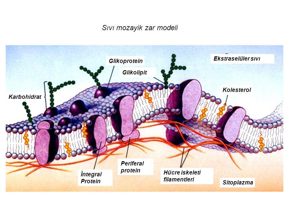 Glikoprotein Glikolipit Ekstraselüler sıvı Kolesterol Sitoplazma Karbohidrat Hücre iskeleti filamentleri Periferal protein İntegral Protein Sıvı mozay