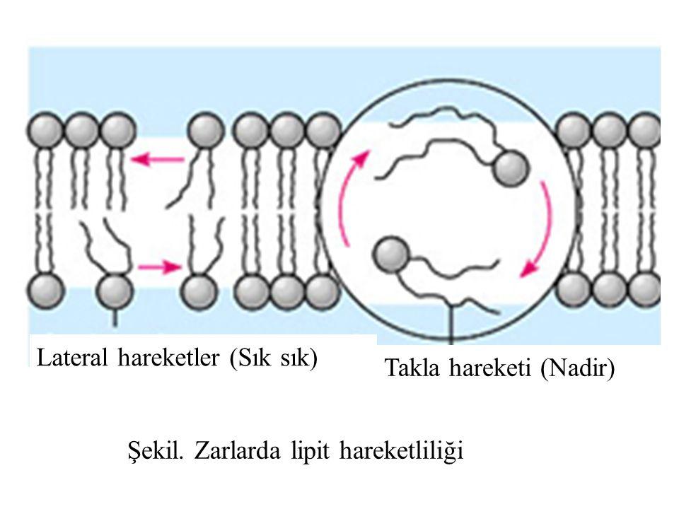 Şekil. Zarlarda lipit hareketliliği Lateral hareketler (Sık sık) Takla hareketi (Nadir)