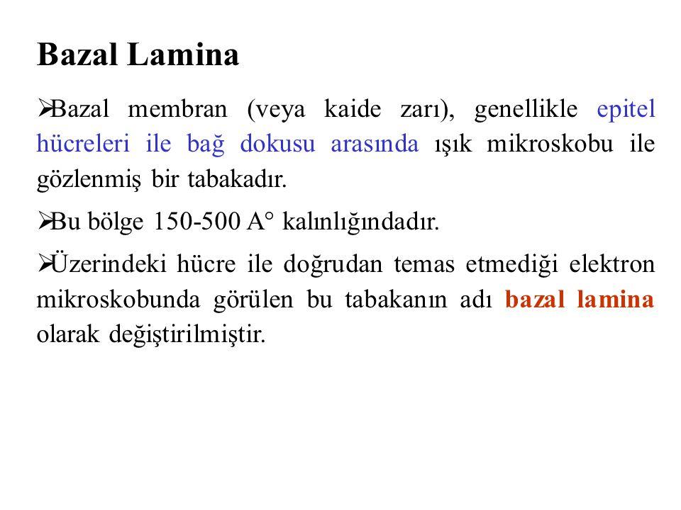 Bazal Lamina  Bazal membran (veya kaide zarı), genellikle epitel hücreleri ile bağ dokusu arasında ışık mikroskobu ile gözlenmiş bir tabakadır.  Bu