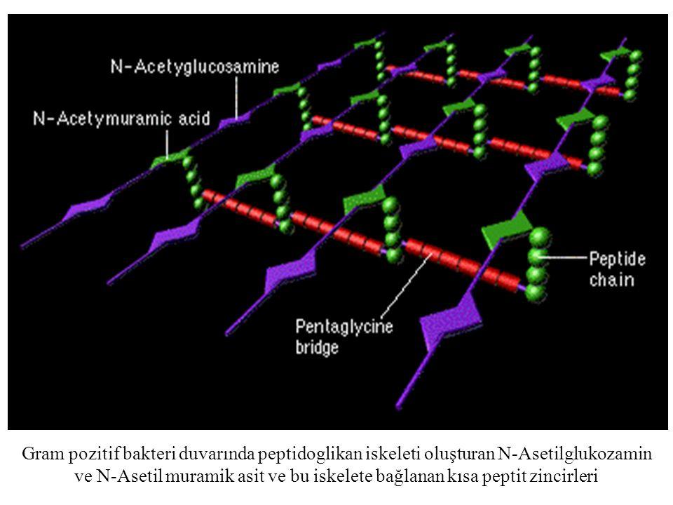 Gram pozitif bakteri duvarında peptidoglikan iskeleti oluşturan N-Asetilglukozamin ve N-Asetil muramik asit ve bu iskelete bağlanan kısa peptit zincir