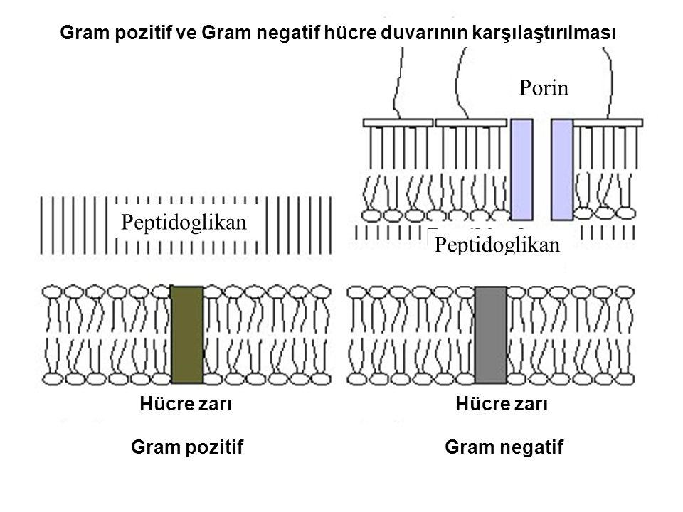 Hücre zarı Hücre zarı Peptidoglikan Gram pozitif ve Gram negatif hücre duvarının karşılaştırılması Gram pozitif Gram negatif Porin
