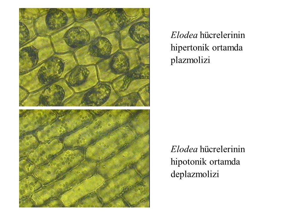Elodea hücrelerinin hipertonik ortamda plazmolizi Elodea hücrelerinin hipotonik ortamda deplazmolizi