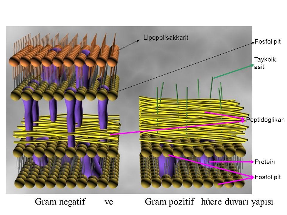 Gram negatif ve Gram pozitif hücre duvarı yapısı Peptidoglikan Protein Taykoik asit Fosfolipit Lipopolisakkarit Fosfolipit